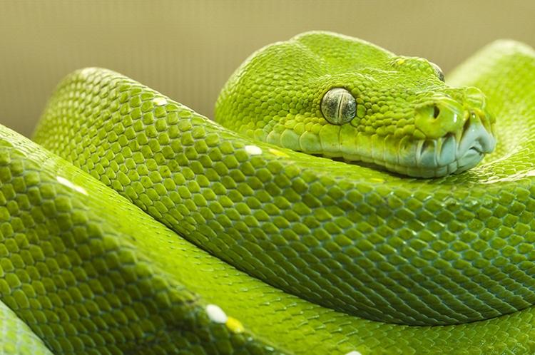 piton verde