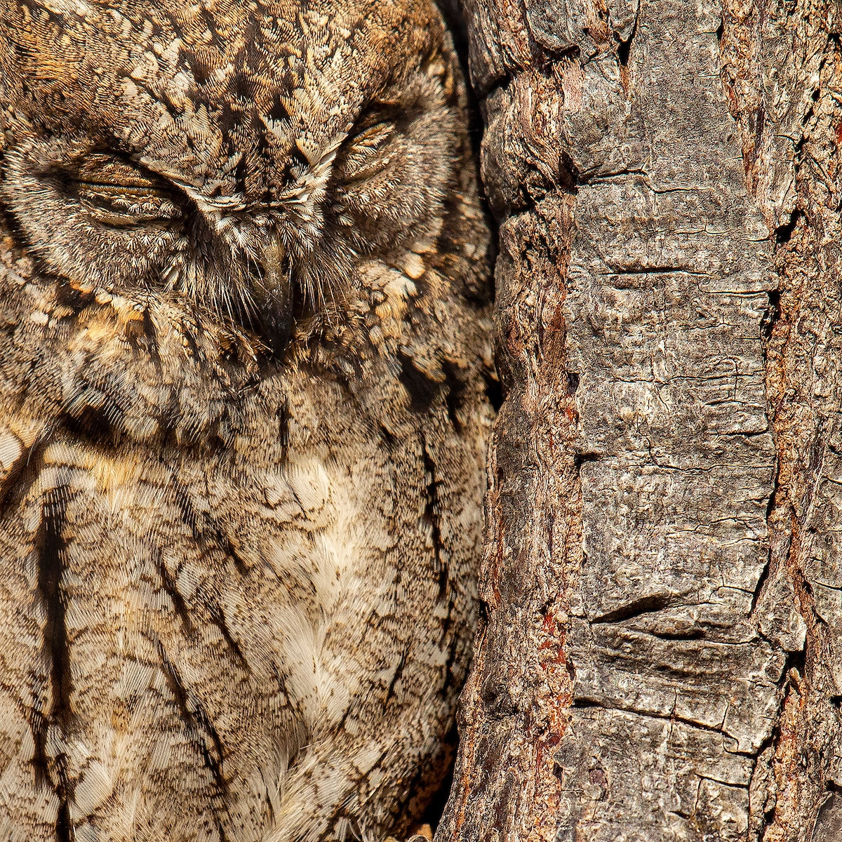 Eurasian Scops-owl Camouflaged