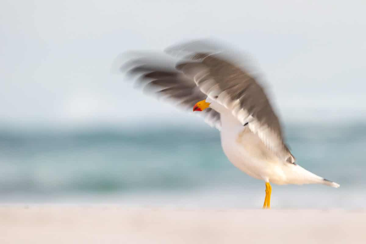 Pacific Gull in Flight