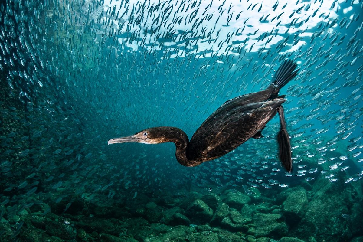 Cormorant Underwater