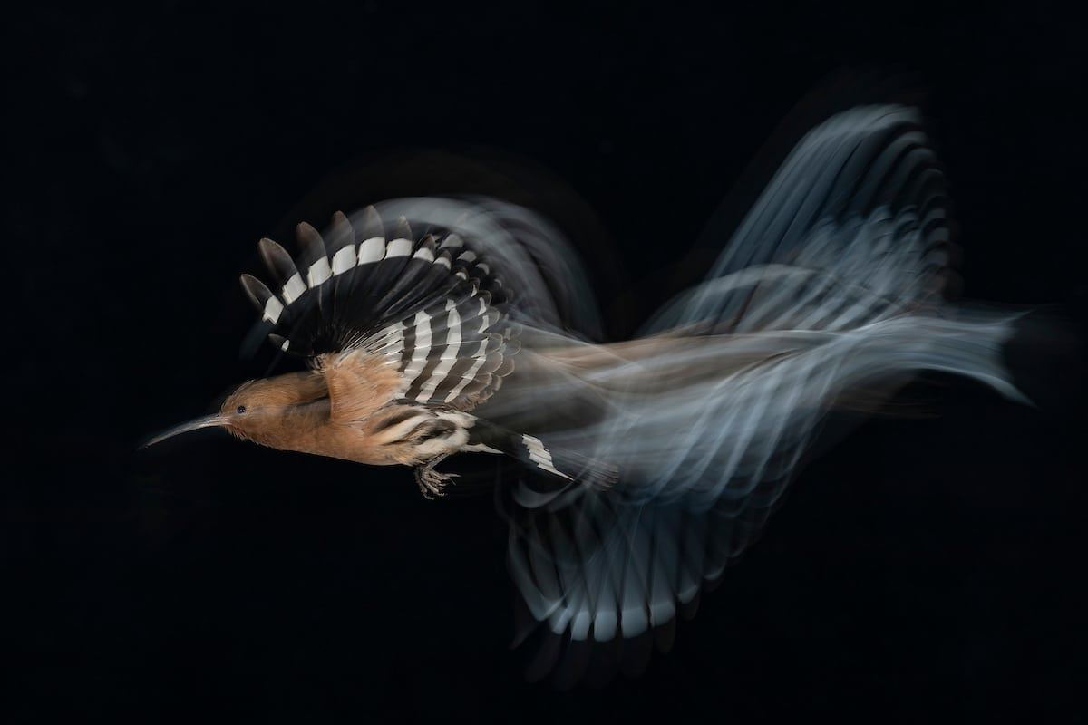 Common Hoopoe in Flight