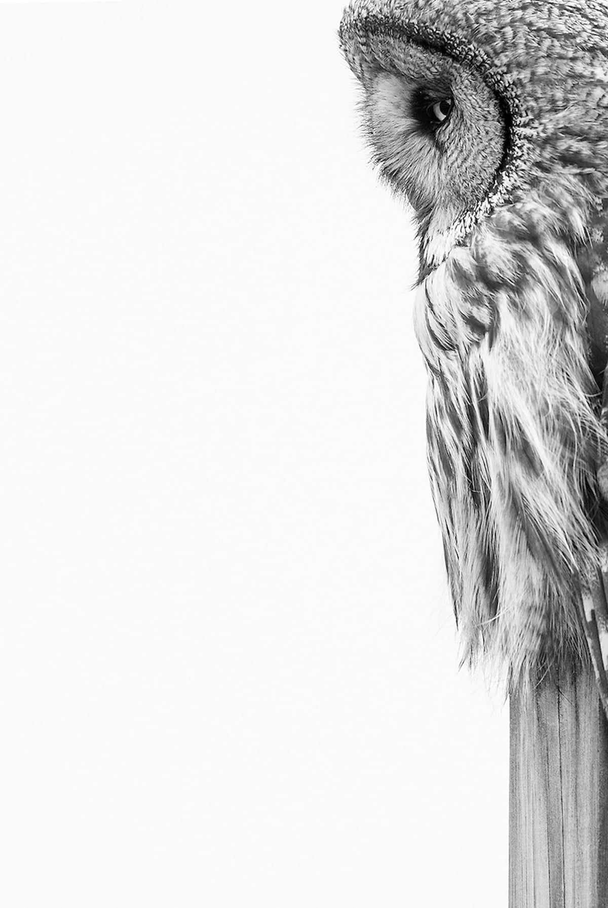 Black and White Portrait of Great Grey Owl
