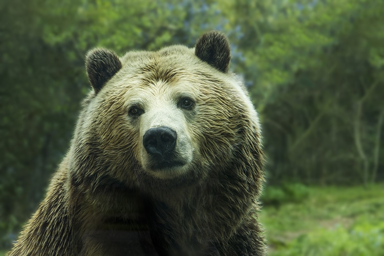 Close Up Of A Grizzly Brown Bear