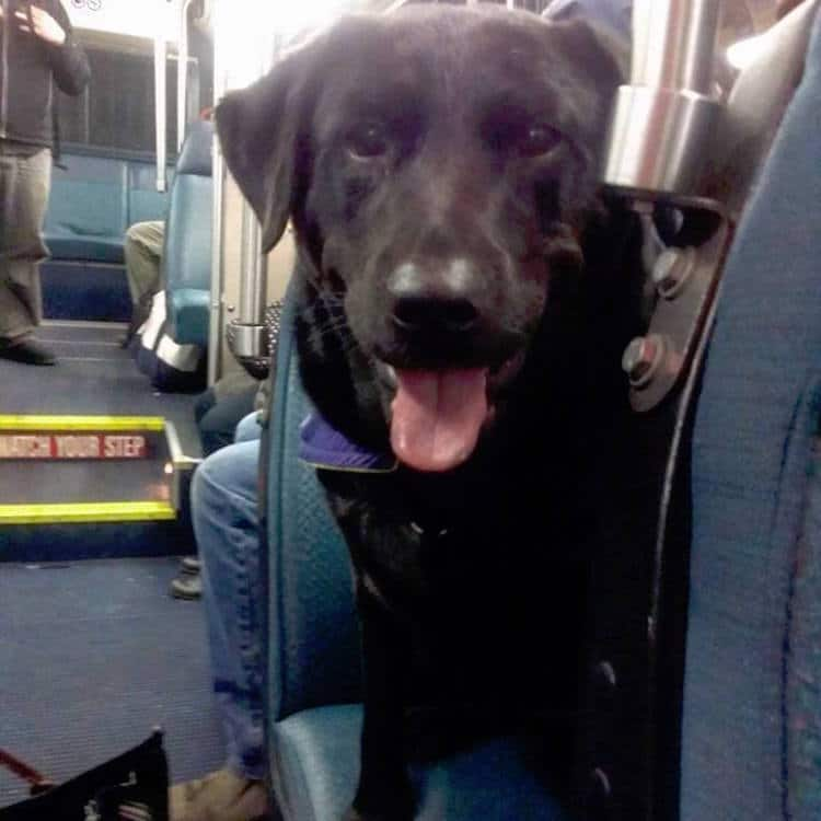 Eclipse dog takes the bus by herself