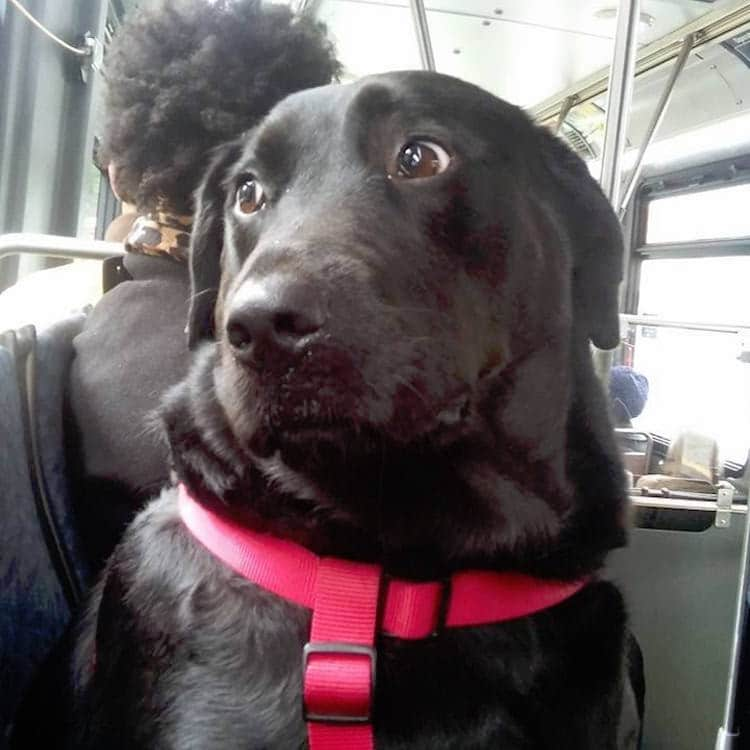 Eclipse dog looking out of bus window