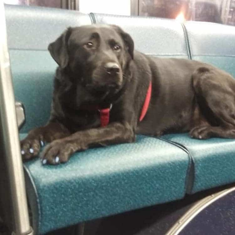 Eclipse the dog sitting on bus