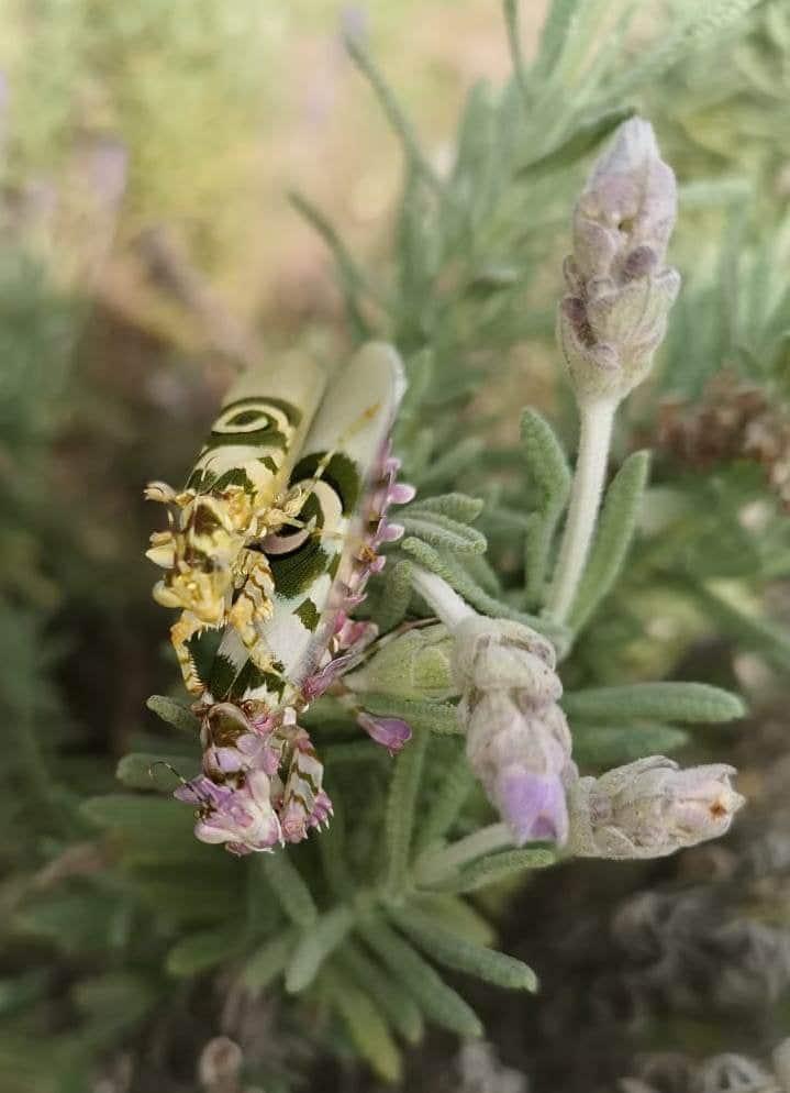 mantis floral