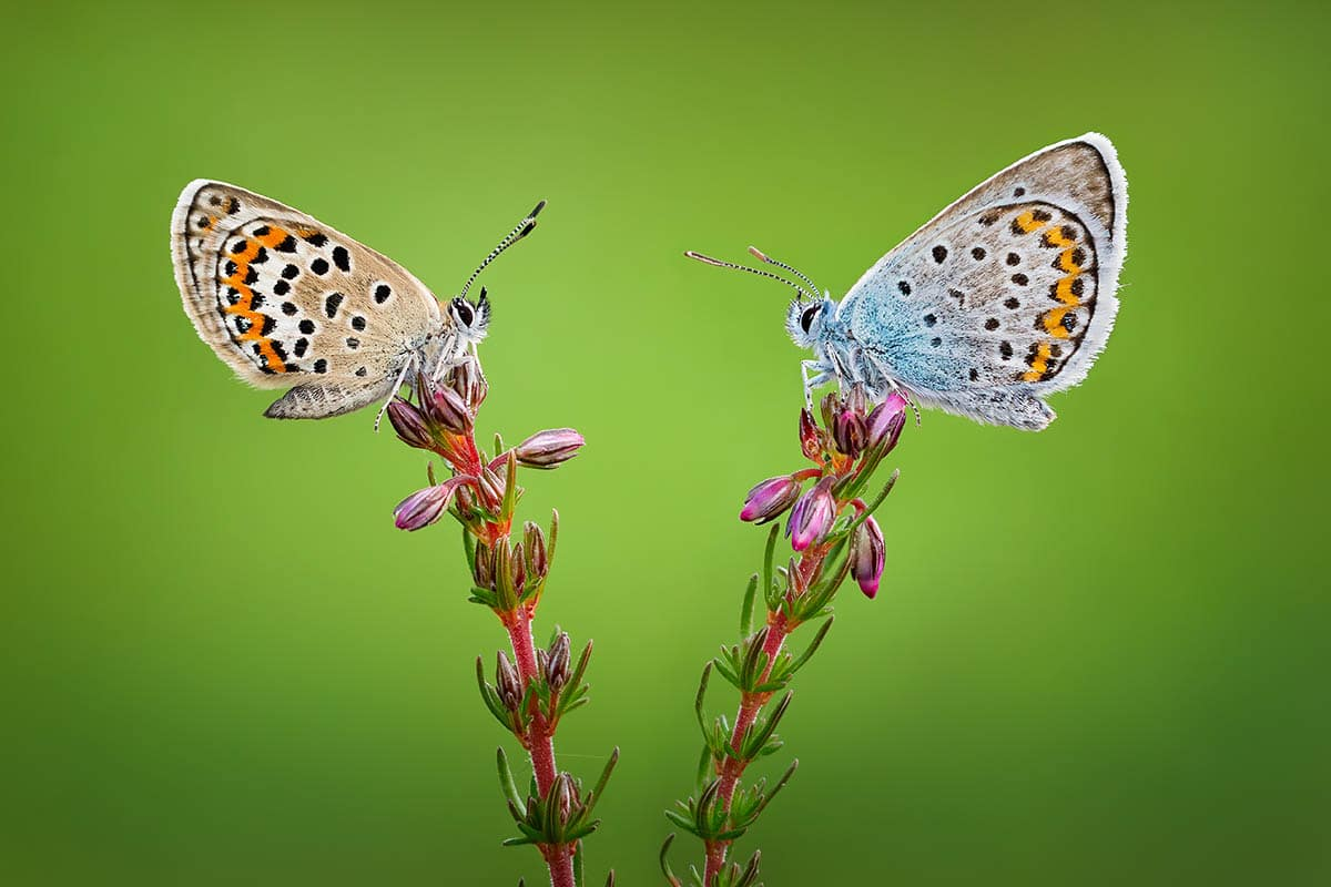 Qasim Syed Silver-Studded Blues on Heather Macro Photo Commended