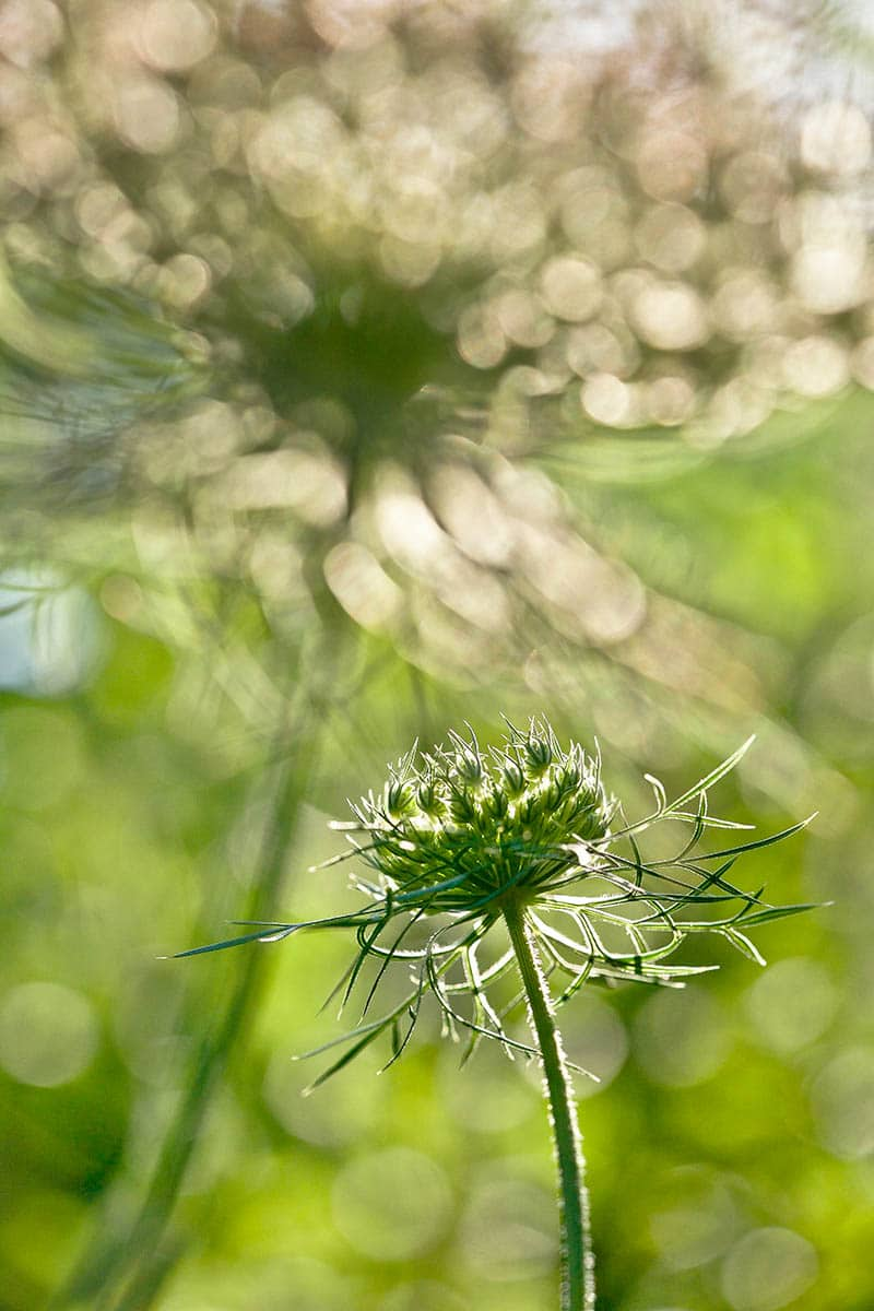 Rachele Z.Cecchini Wild Carrot Flowers in the Late Afternoon Macro Photo Commended