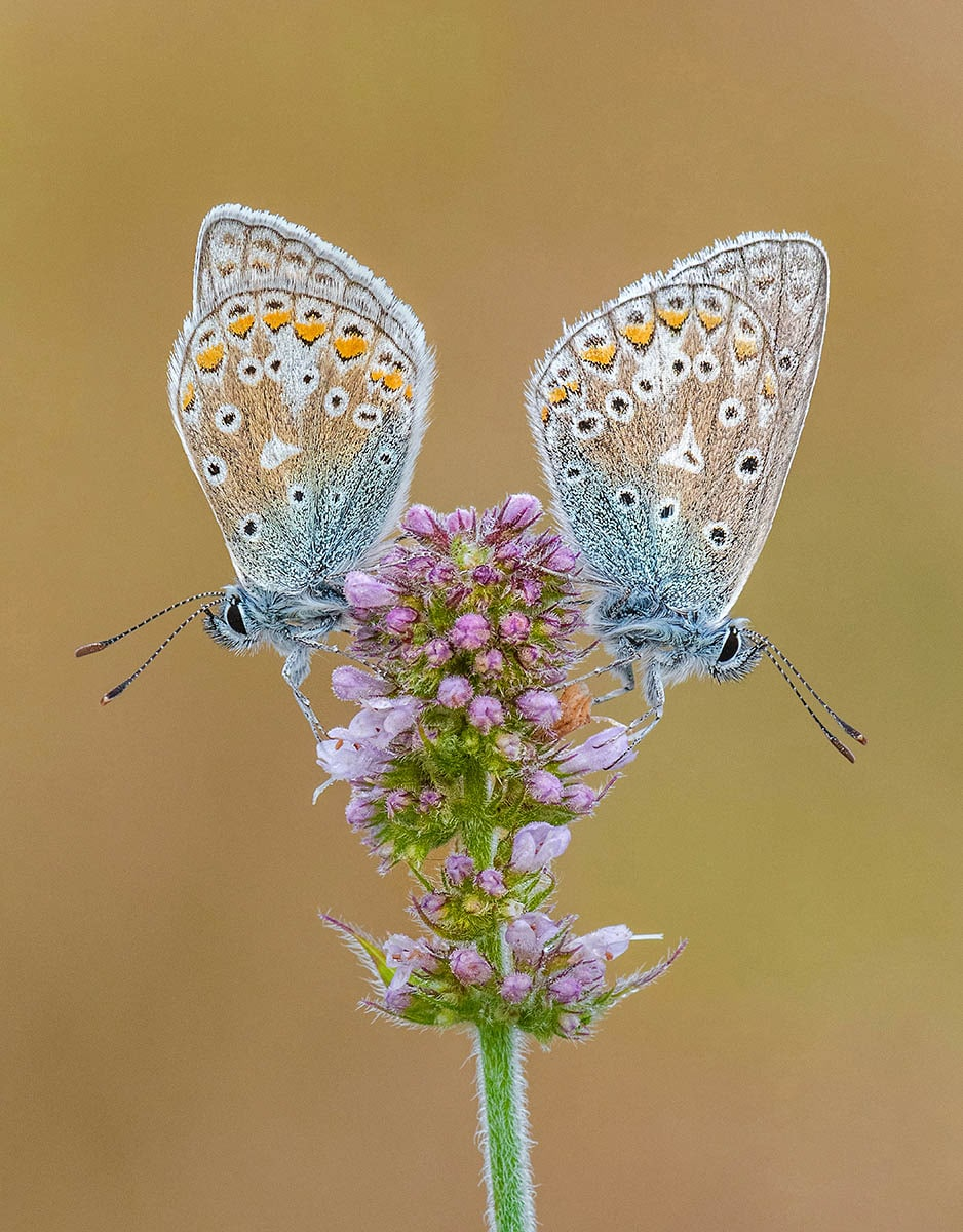 Tony North Common Blues On Apple Mint Macro Photo Highly Commended