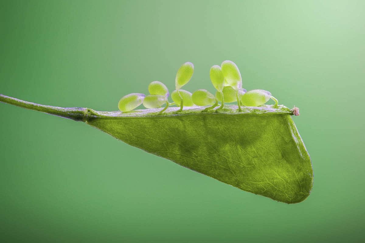 Zhang Ye Fei Shepherd's Purse Seed Macro Photo 3rd Place