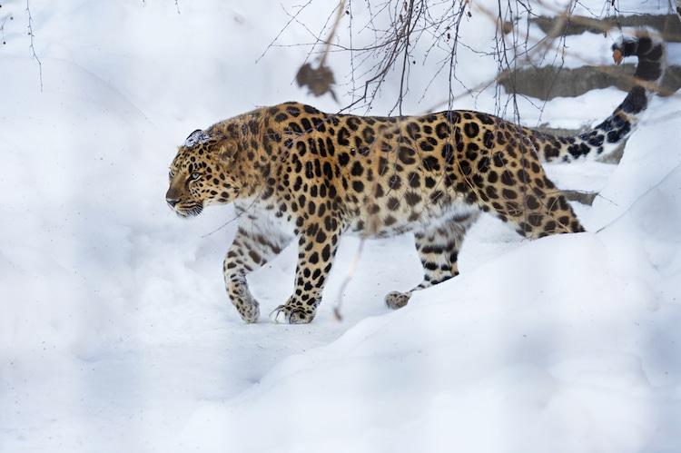 Leopardo del Amur cazando en la nieve