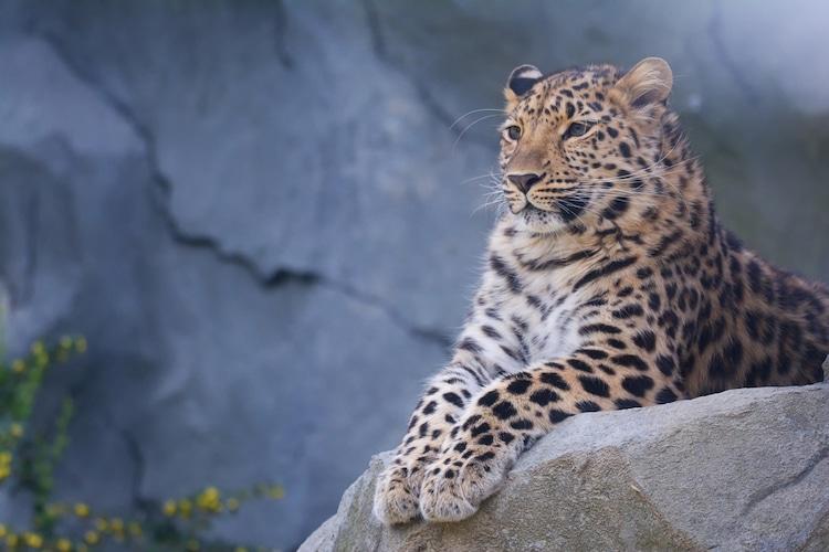 Leopardo del Amur sentado en una roca