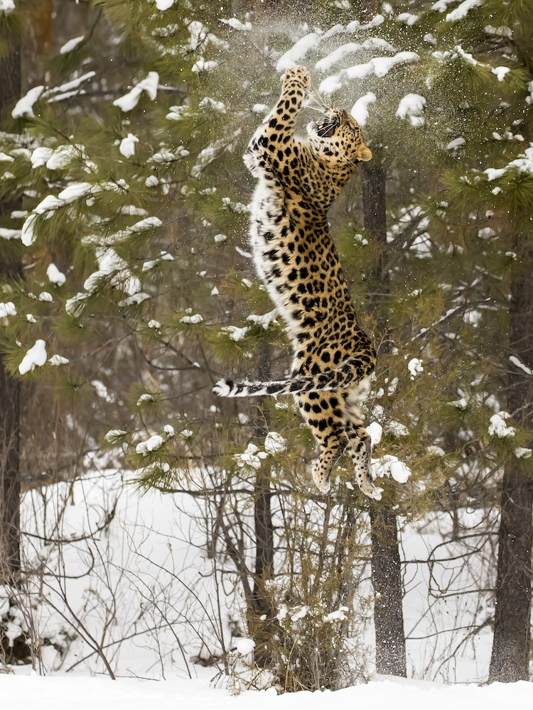 Amur Leopard Leaping Vertically