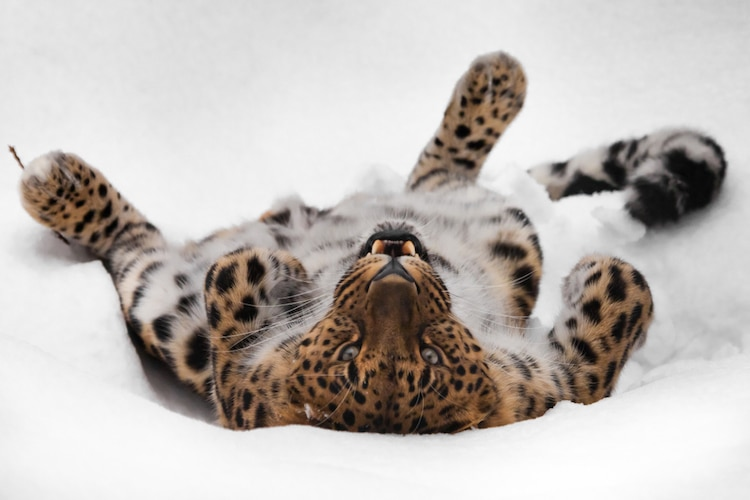 Amur Leopard Rolling in the Snow
