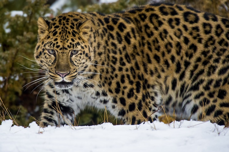 Leopardo del Amur visto de cerca