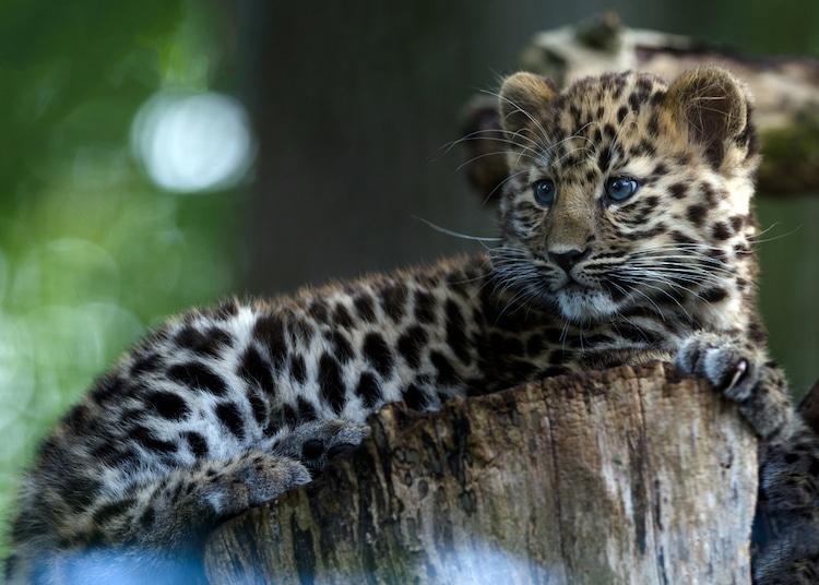 Cría de leopardo del Amur