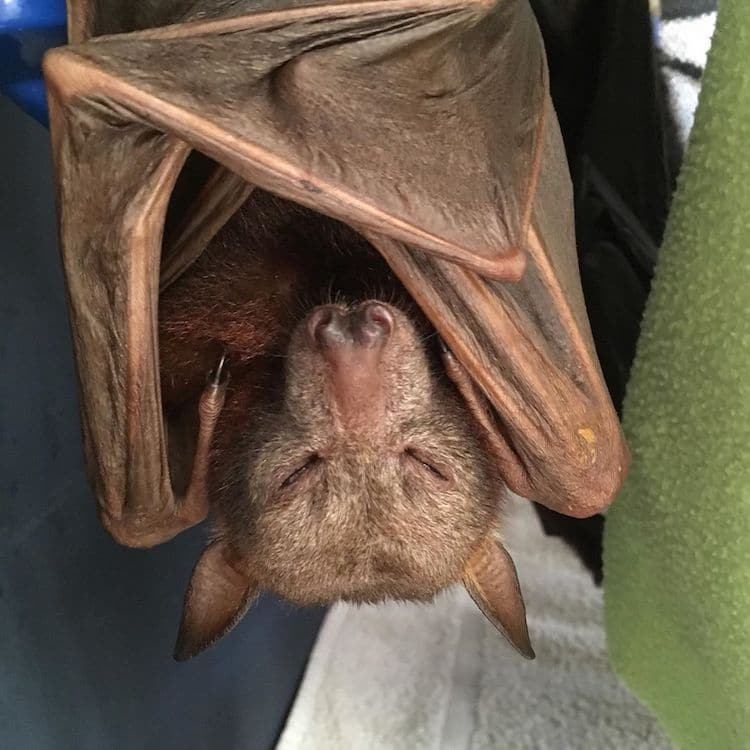 Injured Bat Sleeping