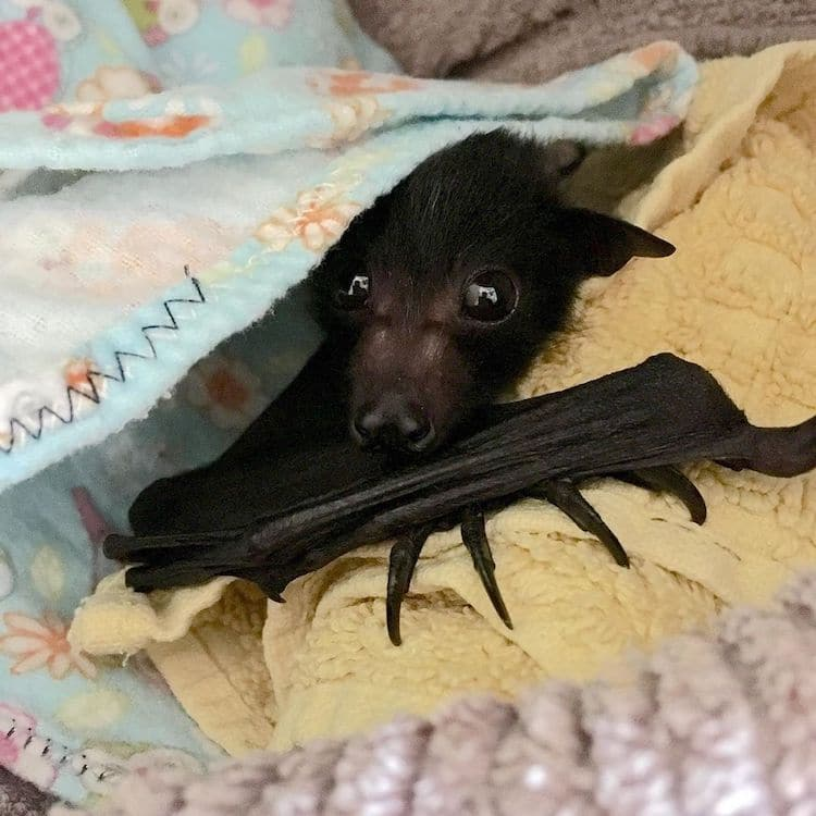 Cute Flying Fox in Rehabilitation