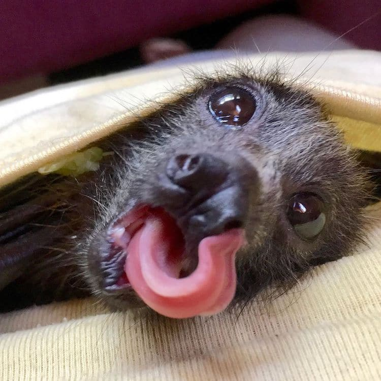 Cute Flying Fox with Tongue Out