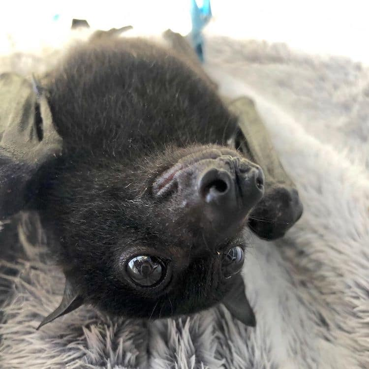 Flying Fox Rescue in Australia