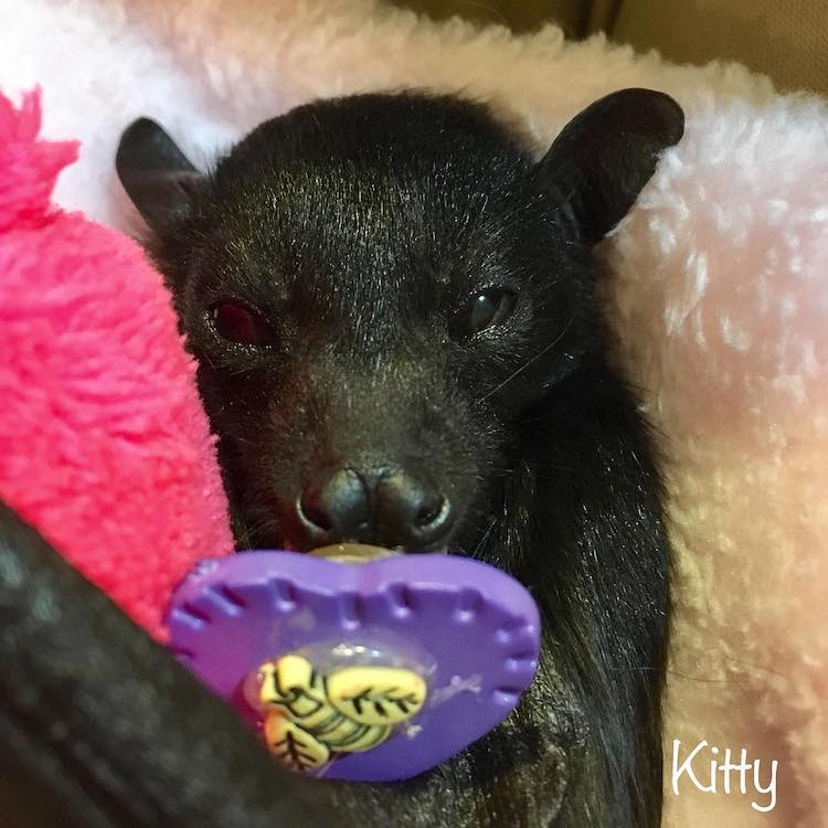 Baby Bat Sucking on a Pacifier