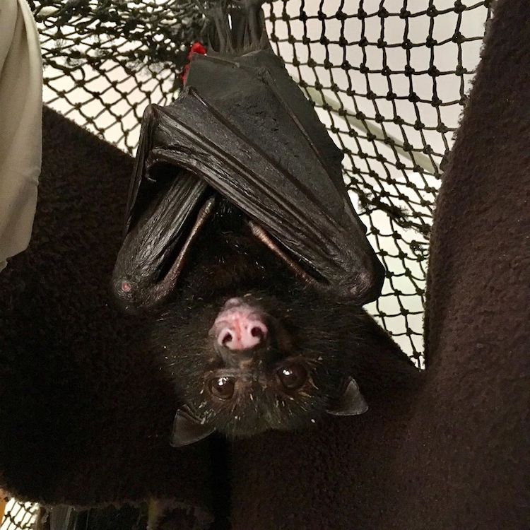 Flying Fox in Rehabilitation