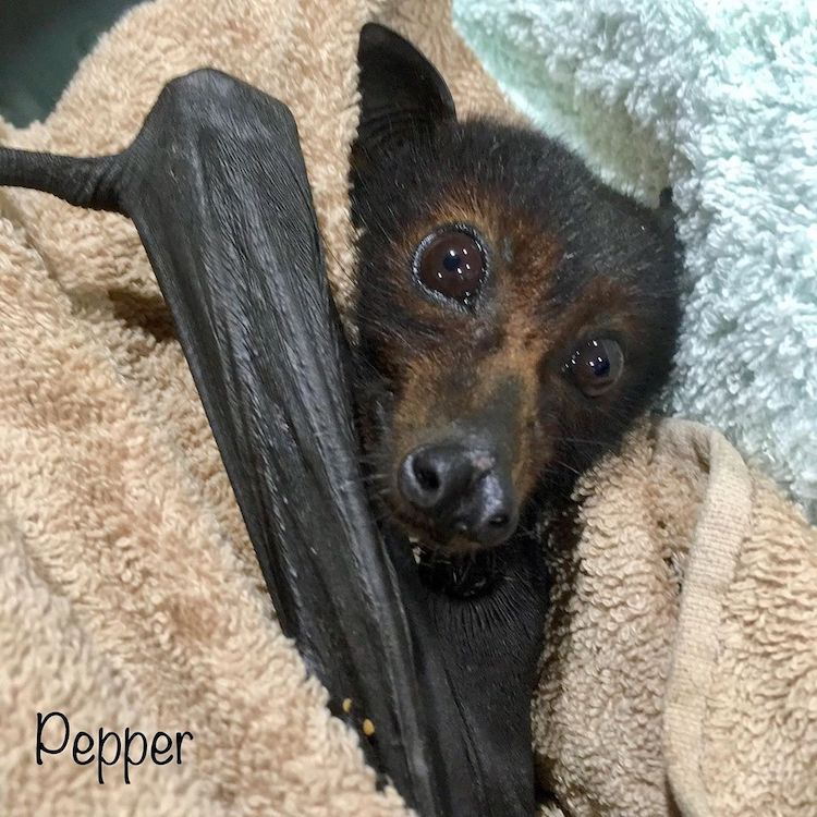 Bats Queensland Rescue and Rehabilitation
