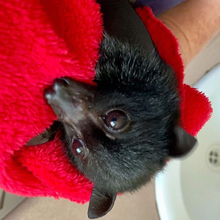 Flying Fox in Rehab