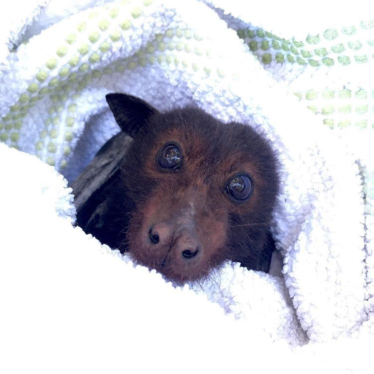 Bat Queensland Bat Rescue Center