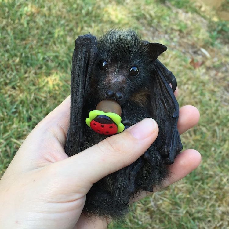 Adorable Baby Bat Sucking in a Pacifier