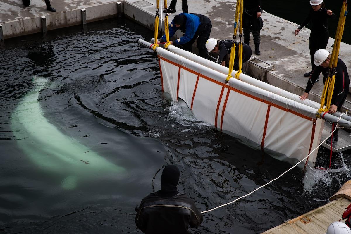 Belugas rescatadas nadan en el mar