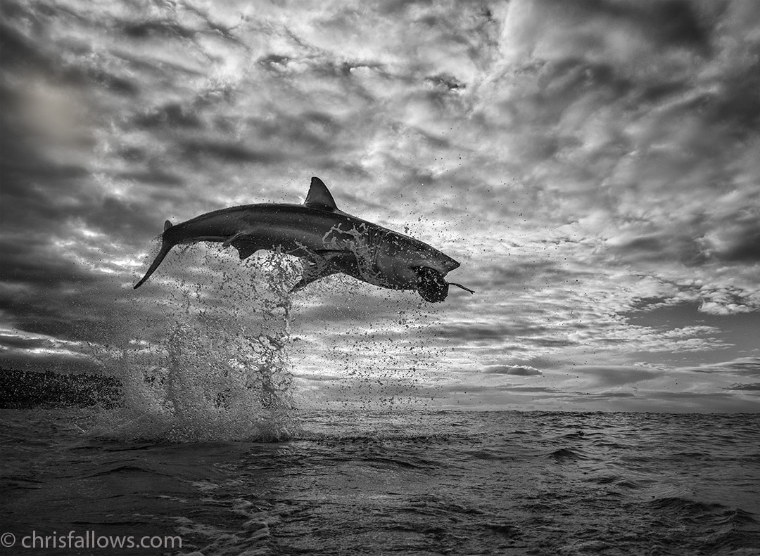 Leaping Great White Shark by Chris Fallows