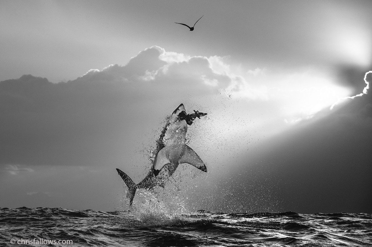 Shark Jumping from the Water