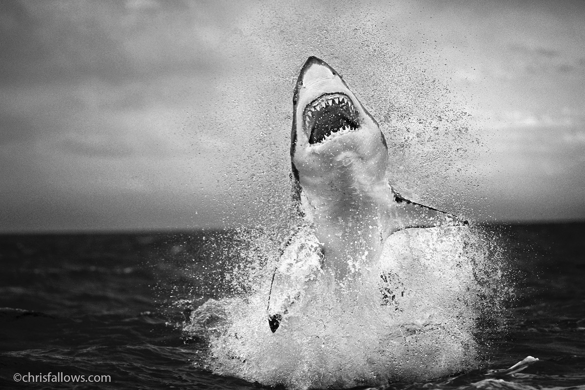 Great White Emerging from the Water by Chris Fallows