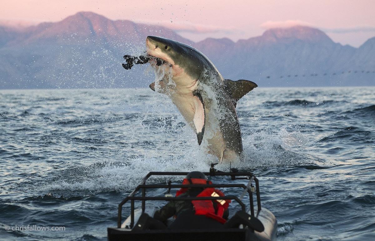 Shark Photography by Chris Fallows