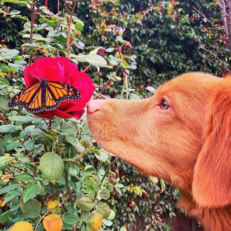 Duck Tolling Retriever Milo Loves Butterflies