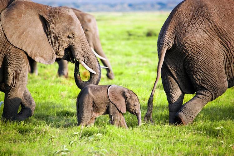Elefante bebé en el parque nacional de Amboseli en Kenia
