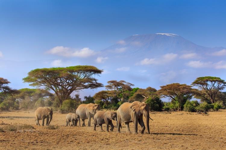 Elephants at the Amboseli National Park in Kenya