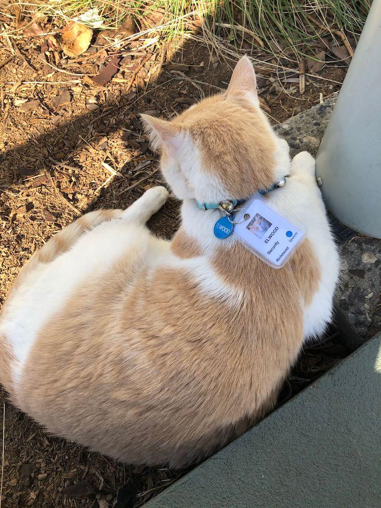 Elwood the Hospital Cat Gets ID Badge