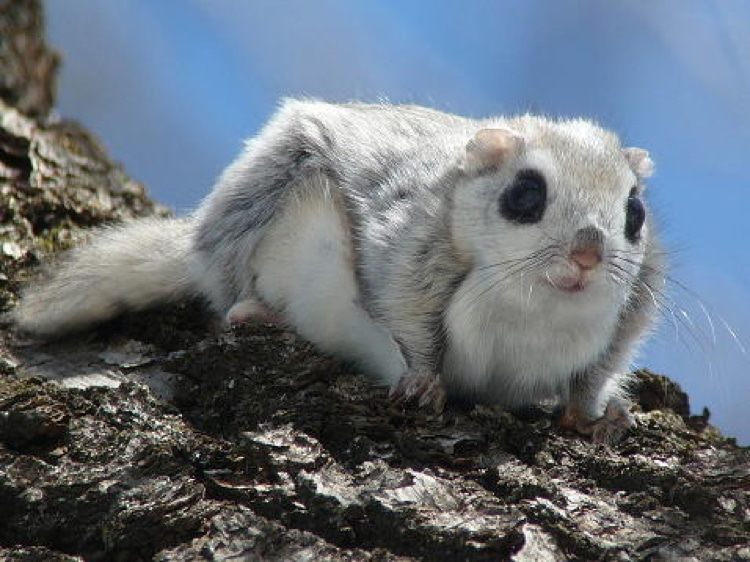 Cute Flying Squirrel in Japan
