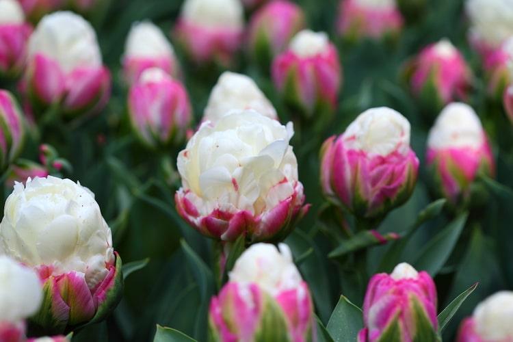 tulipan de helado
