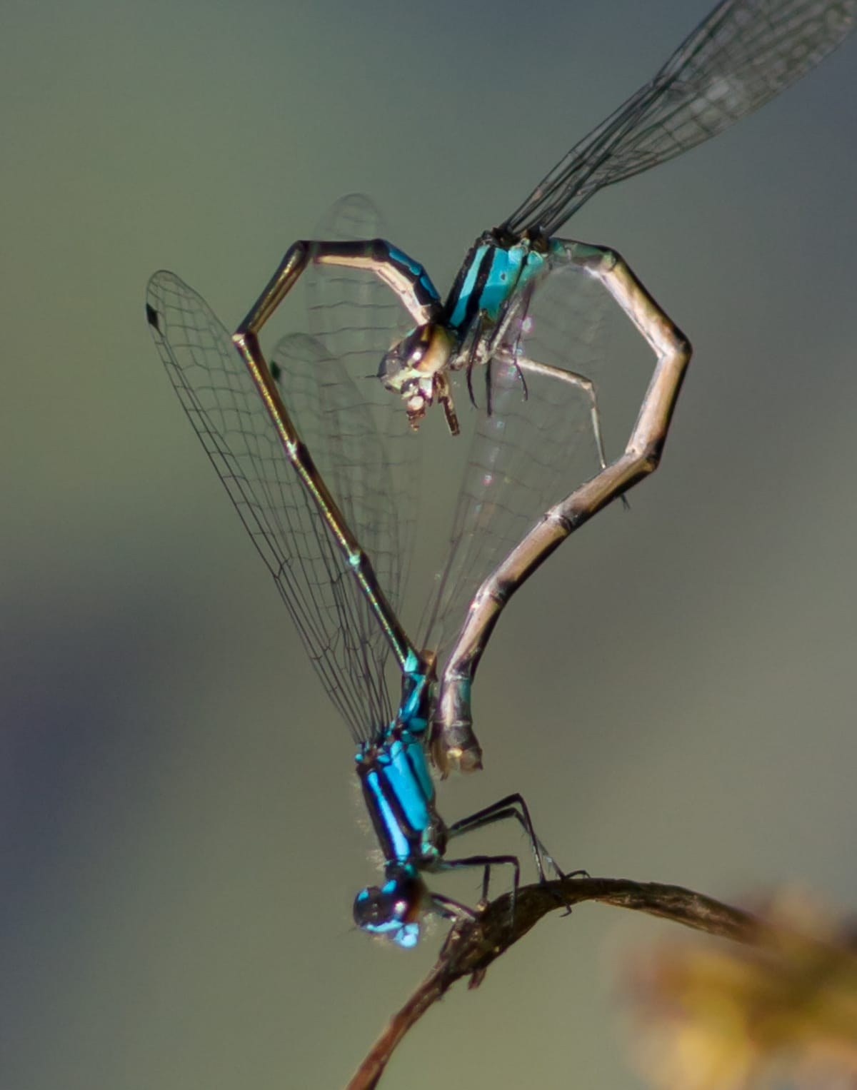 Two Dragonflies Form a Heart
