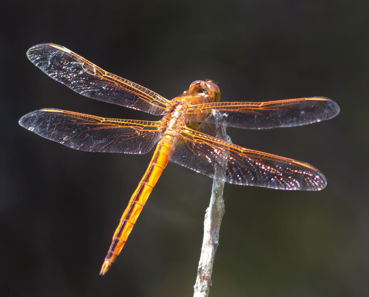 Dragonfly with Wings Spread