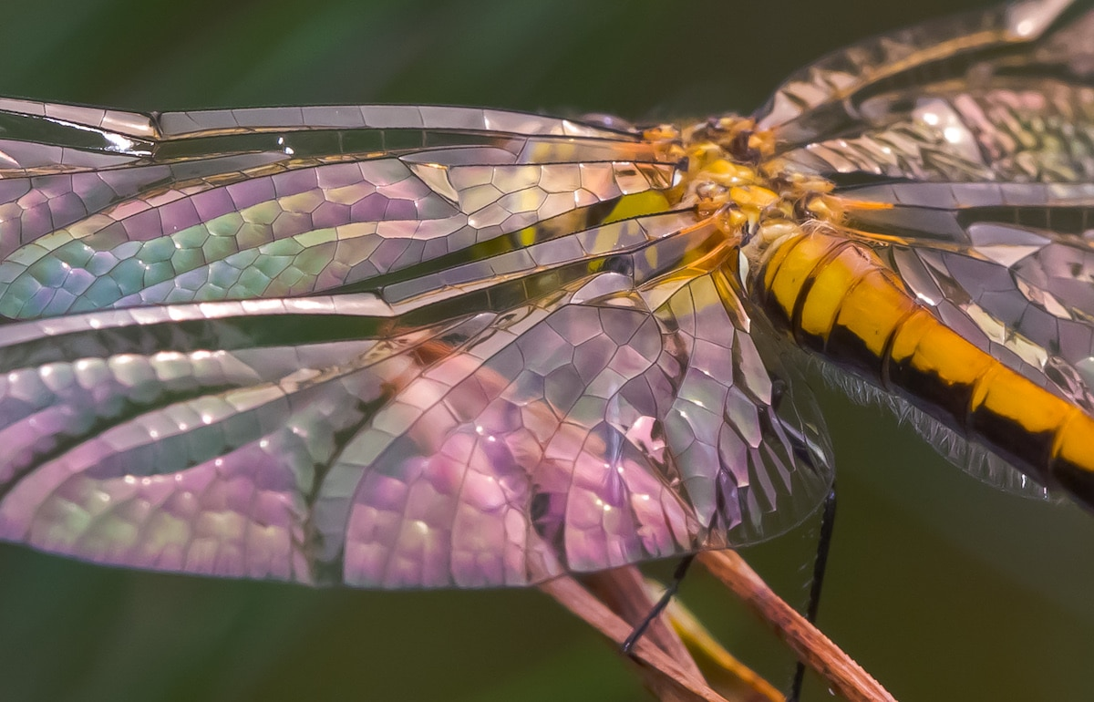 Close Up View of Black Meadowhawk Dragonfly Wing