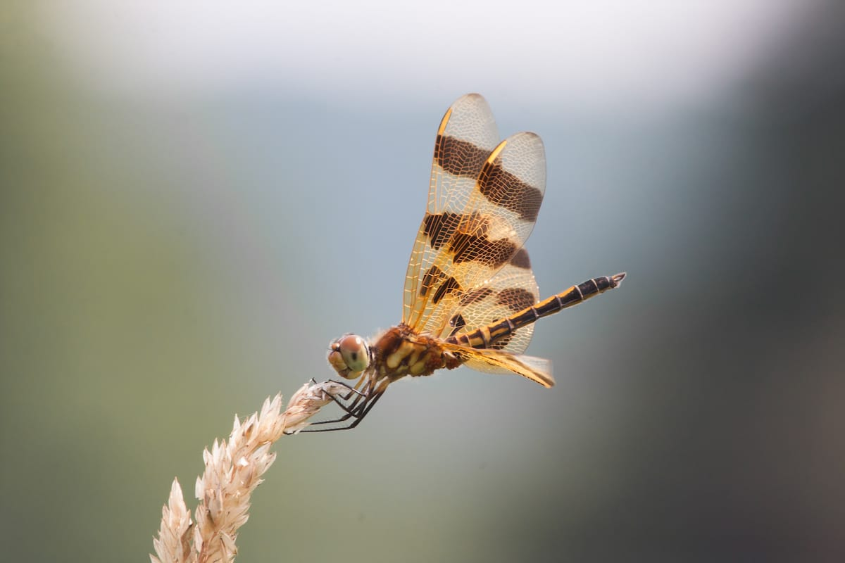 Dragonfly Perched on a Plant