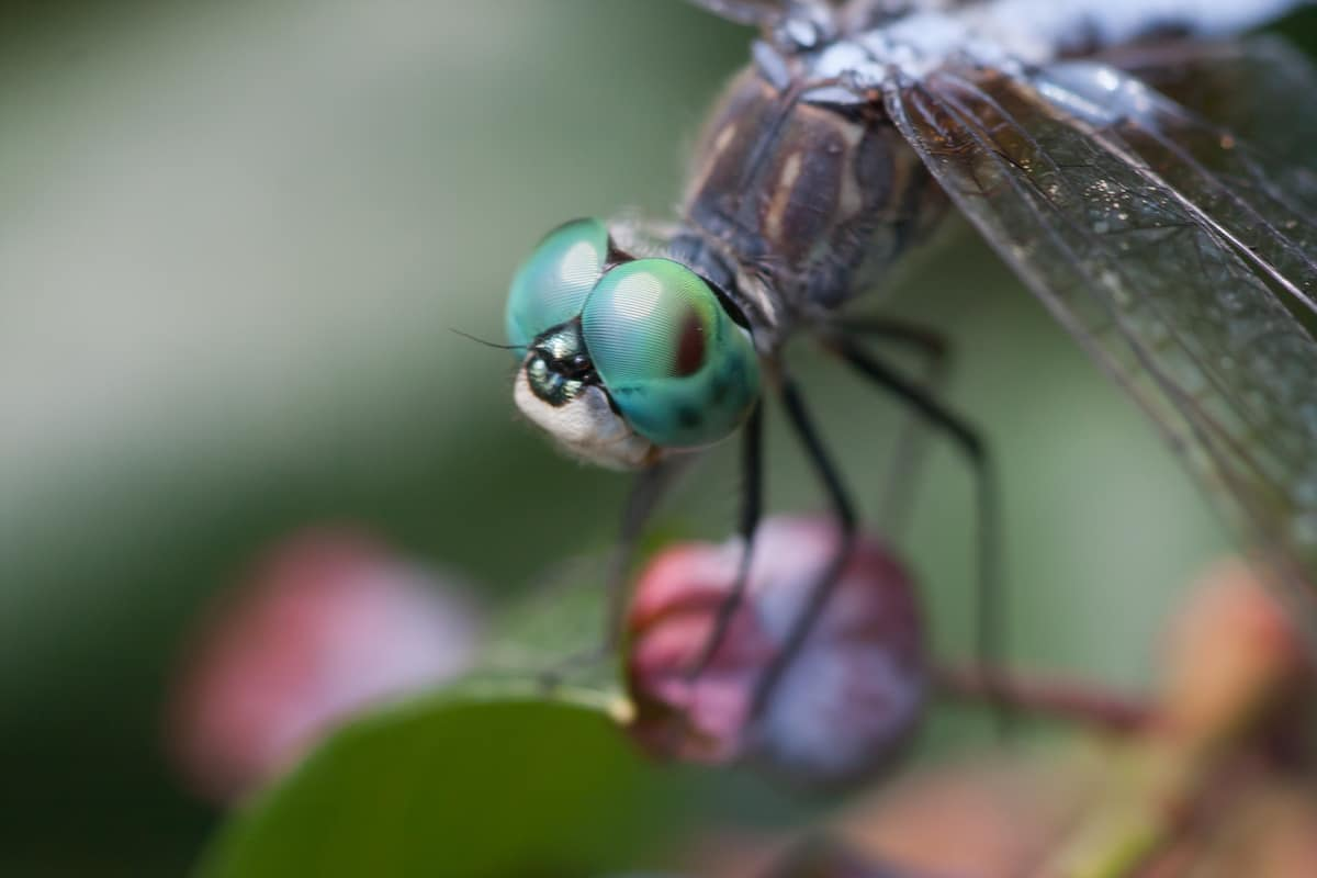 Close Up of Dragonfly Head