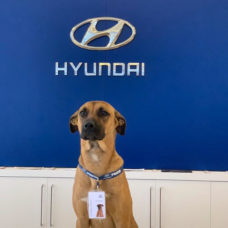 Stray Dog Gets a Job at Hyundai Dealership