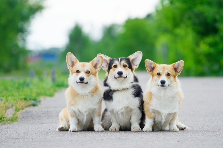 Three Corgis Sitting on a Road