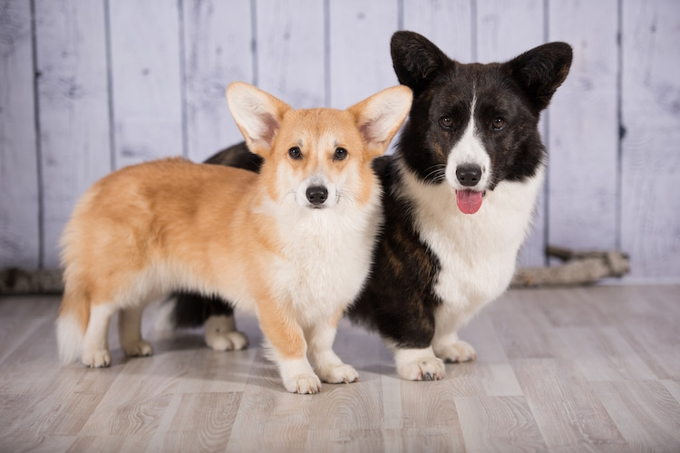 Pembroke Welsh Corgi and Cardigan Welsh Corgi